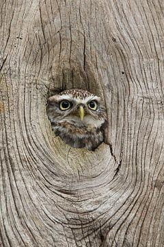 Kuckuck, kuckuck! Kleine Eule schaut durch das Loch im Baumstamm. von Jeroen Stel
