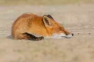 Slapende vos van Anna Stelloo