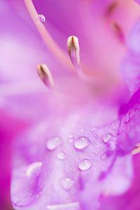 Azalea met waterdruppels
