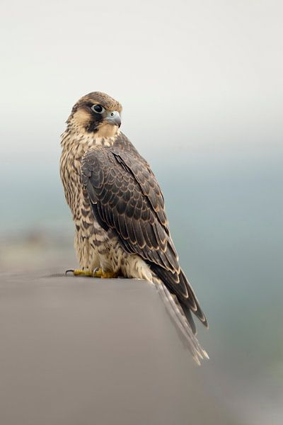 Duck Hawk ( Falco peregrinus ), bird of prey, sitting at the edge of a roof on top of a building van wunderbare Erde