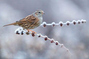Wintering Dunnock (Prunella modularis) von AGAMI Photo Agency