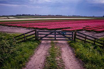 Tulpen achter het hek van Peter Heins