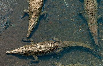 Krokodillen van Maarten Verhees