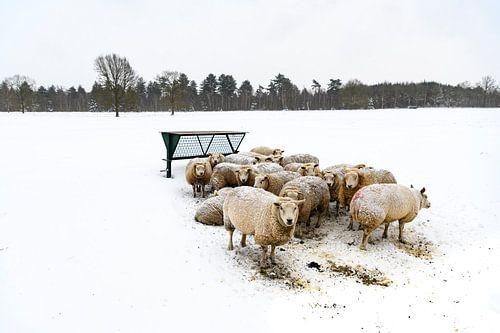 Schapen in een besneeuwd weiland in een winters landschap