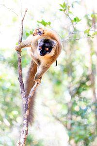 Maki met jong in een boom van