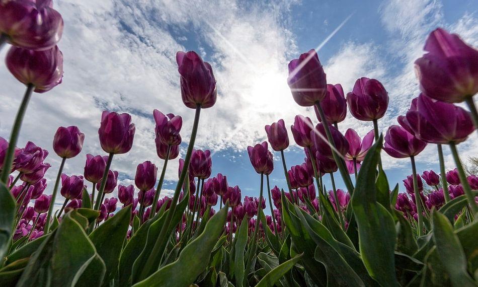 Tulpen en Hollandse luchten..