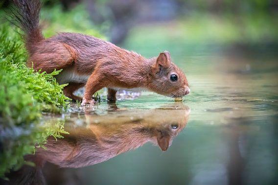 Ecureuil buveur avec réflexion dans l'eau