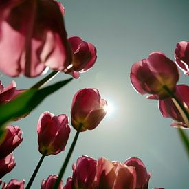 Tulip  Sun sur Kim Verhoef