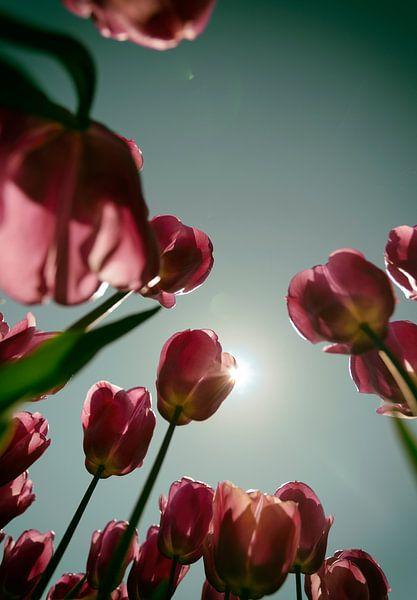 Tulpenveld van Kim Verhoef