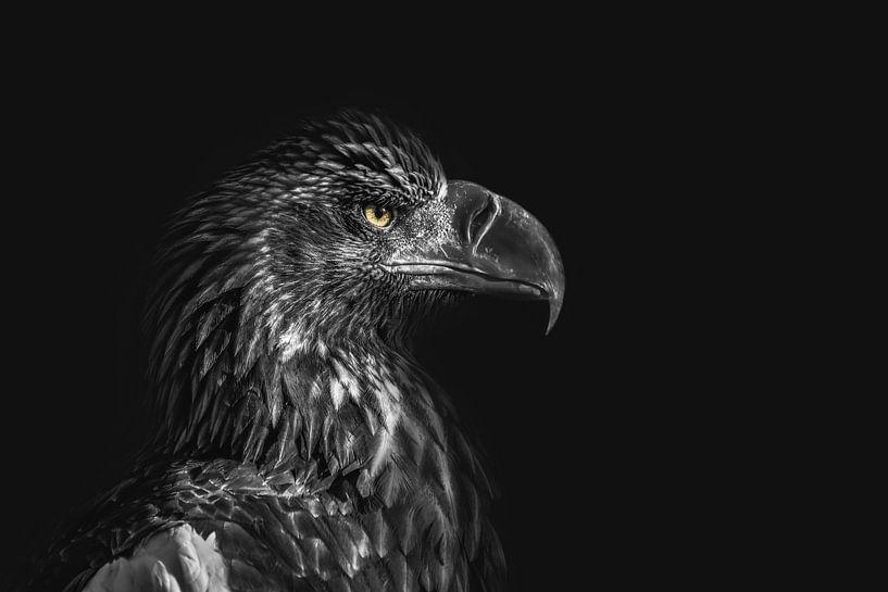 Adlerporträt mit dunklem Hintergrund, Blick nach rechts von Steven Dijkshoorn
