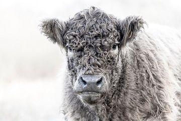 Galloway-Rindfleisch von Ronenvief