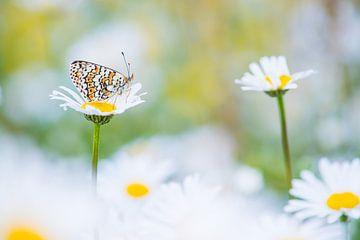 Vlinder tussen de margrieten / butterfly between daisies sur Elles Rijsdijk