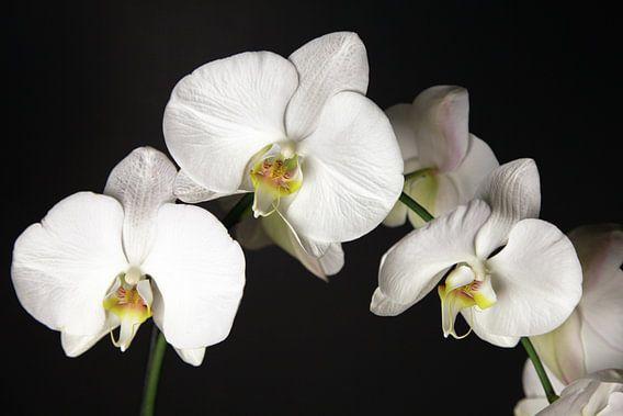 orchideeën van Falko Follert
