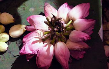 Lotusbloemen van Johan Michielsen