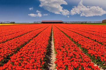Tulpenveld in Nederland op een zonnige lentedag