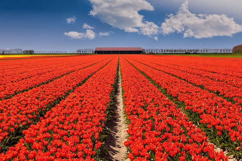 Tulpenveld in Nederland op een zonnige lentedag van Stefan Fokkens