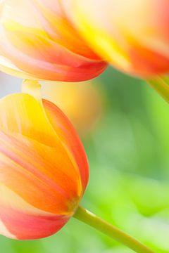 Close-up van prachtige kleurrijke tulpen in het voorjaar van Bas Meelker