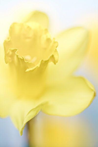 She shines so bright.... (bloem, narcis) van Bob Daalder