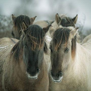 Konikpaarden van Dirk van Egmond