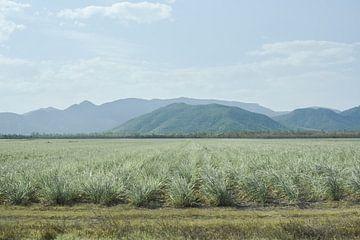 Sugar Cane Landscape von DsDuppenPhotography