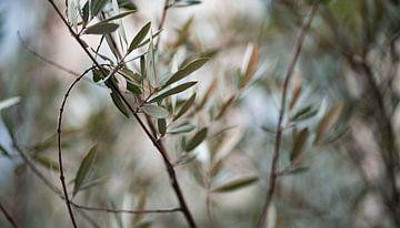 Olijfboom van Fotoverliebt - Julia Schiffers