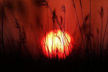 Wehende Schilfrohrfedern (Phragmites australis) mit aufgehender Sonne. von AGAMI Photo Agency