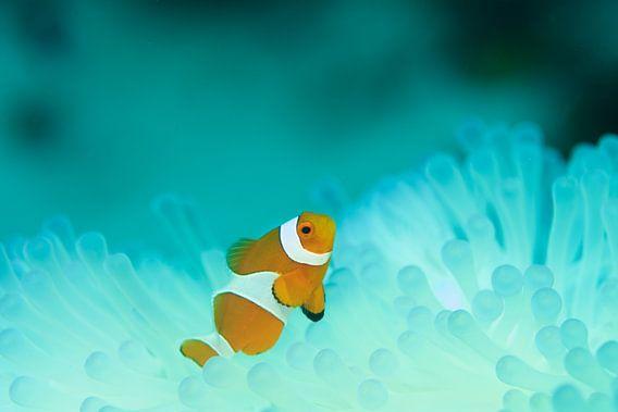 Nemo (clown fish) in lichtgevend koraal