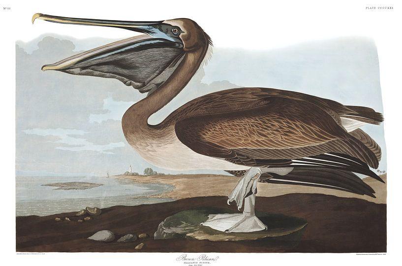 Bruine Pelikaan van Birds of America