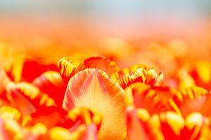 Tulpenzee van Willemke de Bruin