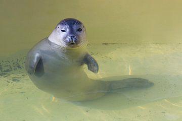 Junger Seehund von Rob Kints