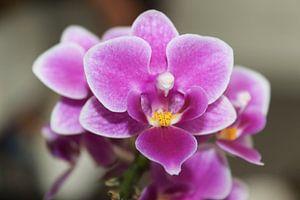 Close up van de Orchide van