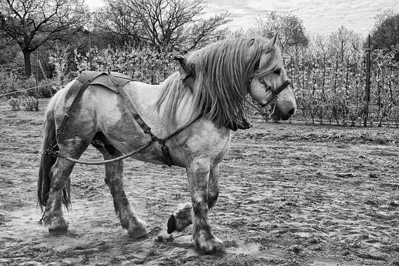 Belgisch trekpaard van Jo Beerens