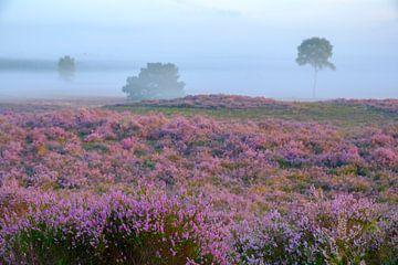Blühende Heidepflanzen in der Heidelandschaft bei Sonnenaufgang im Sommer von Sjoerd van der Wal