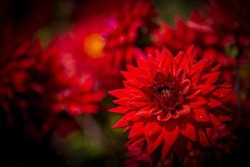 Dahlie in Rot von Everyday photos by Renske