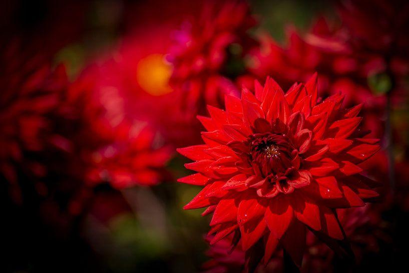 Dahlia in Red van Everyday photos by Renske