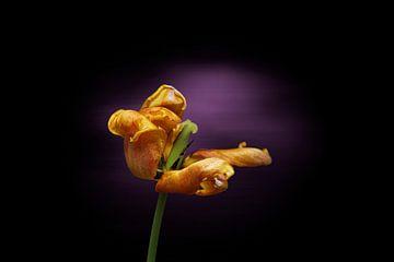 Gele tulp aan het einde van haar bloei van Ribbi The Artist