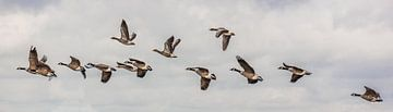 Vogelvlucht van een groep Canadese- & grauwe ganzen van Fotografie Jeronimo