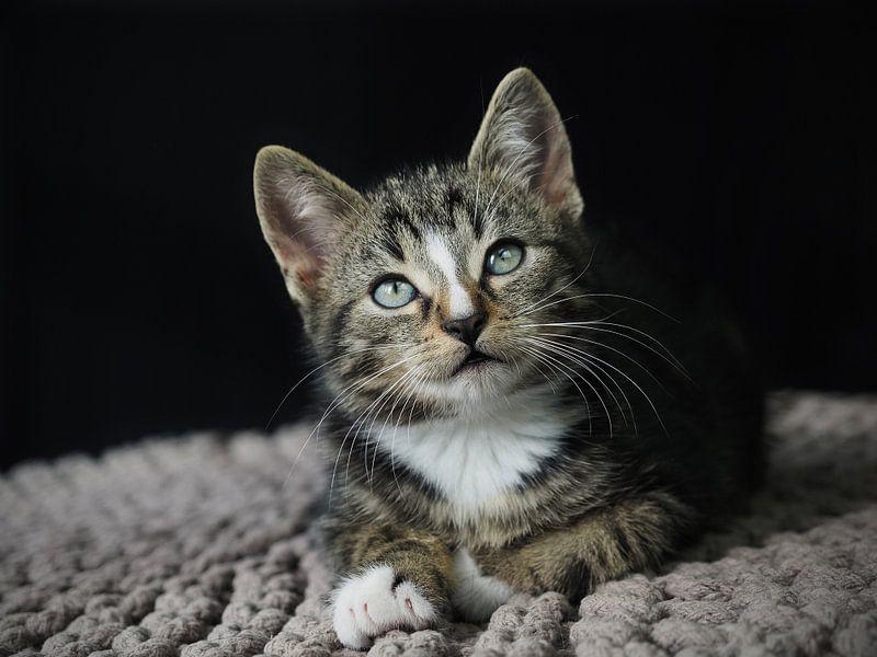 Starrendes Kätzchen von Astrid Brouwers