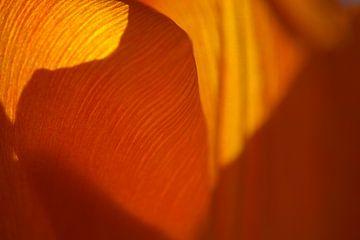 Orange Tulpe von Jurgen van Hest