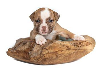 American bulldog puppy van