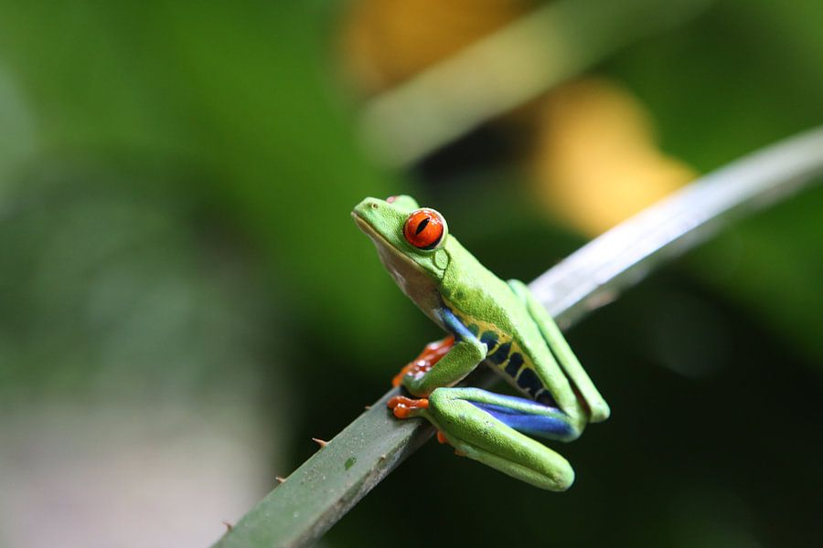 Boomkikker in Costa Rica van Tim Kolbrink
