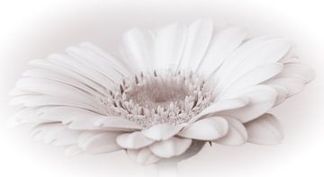 Witte gerbera, high key van Rietje Bulthuis