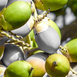 Manila Palm Groen