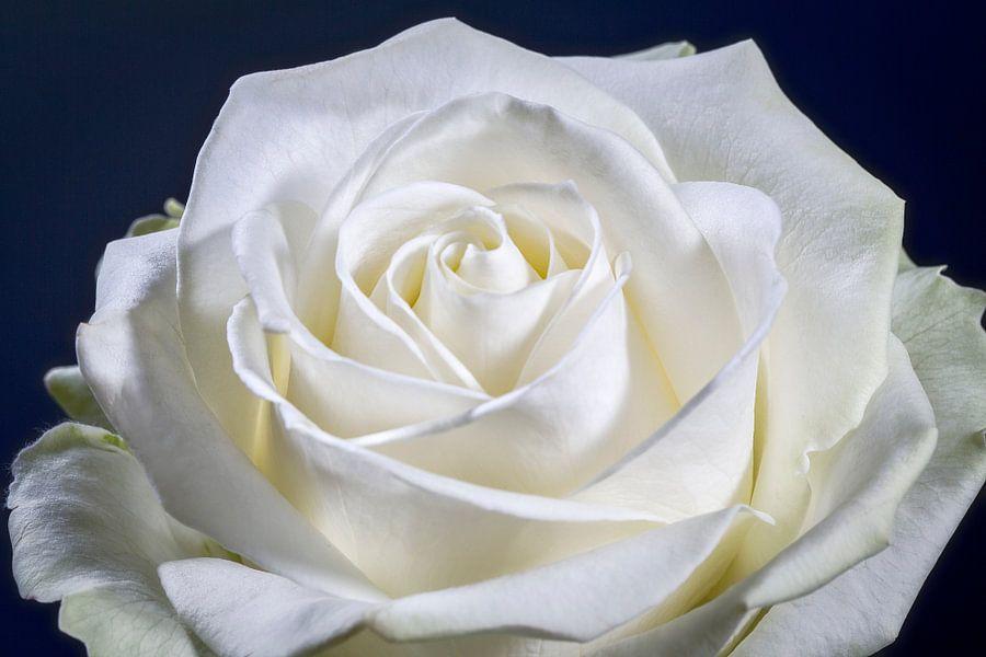 Roos met een hart.