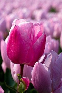 Roze tulp tussen roze tulpen van