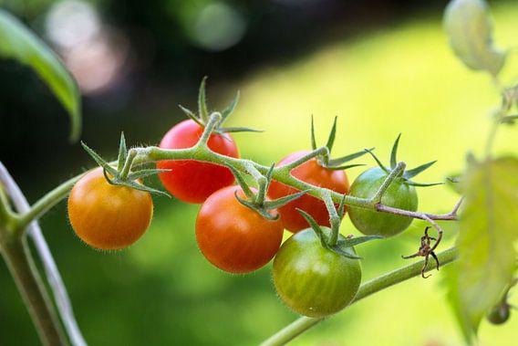 Geschmackvolle Miniparadeiser reifen im Bio-Gemüsegarten.