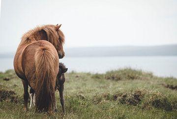 Islandpferd mit Fohlen von iris hensen