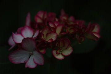Hortensienblume von YVON Bilderbeek
