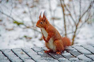 Eekhoorn in wintersfeer