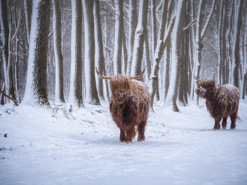 Koude koeien van Pascal Raymond Dorland